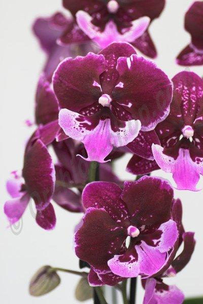 """Phalaenopis Chia Shing Hot Kiss """"Liu's""""  (Yu Pin Fireworks x Chia-Shing Focus)"""