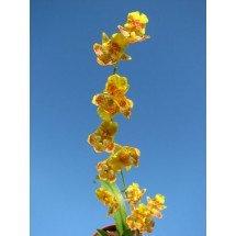 """Howeara Chian-Tzy Lovely """"CT Golden Bug"""""""