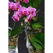 Phalaenopsis  Sogo Vivien