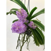 Rhctm. Lilac Blossom  light blue