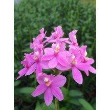 """Epidendrum radicans """"Pink 4N"""""""