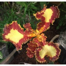 Psychopsis Mariposa Three Lip