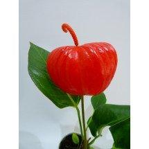 """Anthurium floretti """"Red"""""""