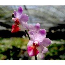 Phalaenopsis Liu's Cute Angel (Dtps. Jia Ho Cherry x P. lobbii)