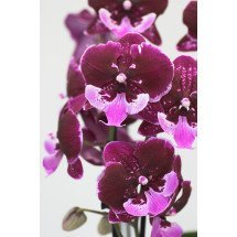 """Phalaenopsis Chia Shing Hot Kiss """"Liu's""""  (Yu Pin Fireworks x Chia-Shing Focus)"""